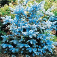 100 Adet / paket masmavi mavi sedir tohumları, güzel avlu-Tohum-en iyi bonsai ağacı