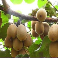 120pcs Kiwi fruit seeds vitamin C fruits and seed bonsai home garden