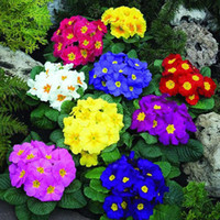 Primrose , Flower Seeds, Color packaging seeds- about 50 partic...