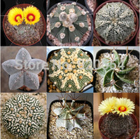 Hot selling 20pcs mixed cactus (Astrophytum) plants succulen...