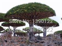 10 raras sementes de árvore Dracaena Canário Ilha árvore de sangue de dragão (Dracaena draco) vistosa