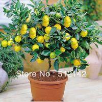 50 pezzi / borsa semi di albero di limone alto tasso di sopravvivenza bonsai semi di frutta per la casa balcone di gatden bonsai