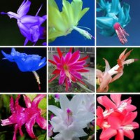 24 Colors Available Rare Schlumbergera Seed Balcony Bonsai F...