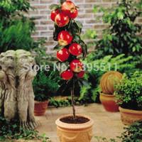 100 adet Bonsai Elma Ağacı Tohumları nadir meyve bonsai ağacı-Amerika kırmızı lezzetli apple tohumları bahçe saksı yetiştiricilerinin için