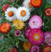 Hot selling 50pcs lot Golden everlasting strawflower seeds b...