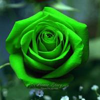 200 Verde Rosa semina fiore DIY della pianta di giardino pieno di Bloom durante la stagione giardino di trasporto