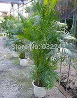 DIY Home Garden Plant 5 Semillas Genuino Chrysalidocarpus lutescens Palm Areca Palm Dypsis Semillas de Árboles Envío Gratis
