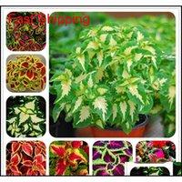 기타 정원 용품 100 PC Janpanse Bonsai Rare Coleus 꽃 아름다운 단풍 식물 완벽한 컬러 무지개 드래곤 씨앗 G BG2VL