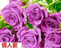 60 PC 드문 블루 핑크 블랙 여러 가지 빛깔의 장미 식물 씨앗 발코니 정원 화분 꽃 씨앗 276 R2