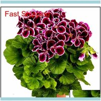Other Supplies Patio, Lawn Home & Gardenreal Import Geranium Seeds Perennial Bonsai Flower Pelargonium Plants Potted For Garden Deco Jllhem