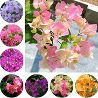 Bougainvillea Semi Giardino Forniture Perenne Flower Bougainvilleas Spectabilis Wild Seeds Gardens Bonsai Pot Piante ZC167