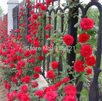 La pianta rampicante rossa di Polyantha Rose semina il fiore 100pcs del vaso del cortile del giardino domestico di DIY Trasporto libero