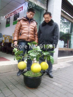Bonsai Fruit seeds 10pcs Hardy Mini Pummello Pomelo Pomello ...