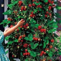 50pcs fraise rouge fraise grimpante fraise quatre saisons fruits graines 1VXD