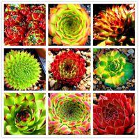 Graines de plantes succulentes fraîches 30 graines maison Rock Garden magnifique feuille ronde - RARE mélangé ECHEVERIA Purpusorum Graines Livraison gratuite