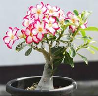20 samen / pack Bonsai Blumen Neue Absorption von Formaldehyd Bunte Desert Rose Samen adenium obesum samen