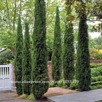 ¡Semillas del árbol 100 PC semillas de ITALIAN CYPRESS (Cupressus Sempervirens Stricta) que cultiva un huerto caseras, envío libre!