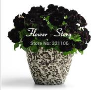 무료 배송 200 피튜니아 씨앗 - 검은 벨벳 Petunia, 희귀 품종, 하디, 지속적인 발코니, 마당 꽃