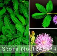 Schüchterne Grassamen, Mimosa pudica Linn, Laub Mimosa pudica Empfindlich - 30 Samenkörner