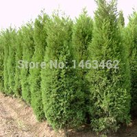 50 قطعة / الحقيبة بذور السرو ، الطرق النباتات الخضراء العمودية بذور شجرة جميلة الشحن المجاني