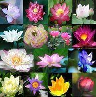 Livraison Gratuite 40 Pièces / Fleur De Lotus / Graines De Lotus / Jardin D'eau Plantes / Vous Apprendre Comment Planter Fleur De Lotus
