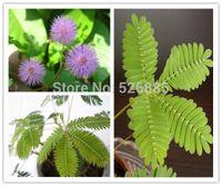 Bashfulgrass Samen, Mimosa Pudica Linn, Laub Mimosa Pudica Sensitive - 30 Keimpartikel