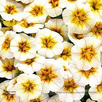 희귀 Superbells Frostfire Calibrachoa Petunia 연간 꽃 씨앗, 전문 팩, 100 종자 / 팩, 대형 피 꽃