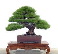 50pcs japonais graines de pin, graines de pinus thunbergii, graines de bonsaï bricolage maison jardin