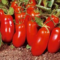 Graines Rouge Tomate San MartSano Heirloom Organique Variété de légumes 50PCS S069