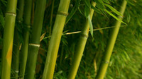 Огромные 5000 + семена Гигантские Phyllostachys pubescens moso bamboo seed hardy -4 Giant