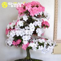 200 Pcs   Bag Rare Bonsai Pink and White Azalea Seeds Looks ...