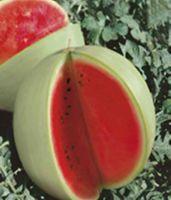 희귀 한 백인 수박 씨앗 - 전체 잎 유기농 러시아 가보 씨앗 정원 장식 공장 20pcs F78