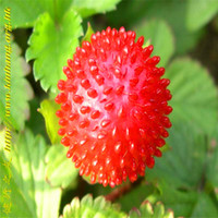50 나무 식물 씨앗 인도 딸기 씨앗 유기농 과일 정원 홈 L001