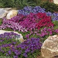 록 크리스털 씨앗 - 로얄 믹스 (Aubrieta Hybrida) 컴팩트, 그라운드 커버 정원 장식 플랜트 50pcs P02