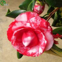Multi Couleur Facultatif Camélia Semences Fleurs Pot Planches Jardin Bonsai Flower Graines 10 Particules / Lot G012