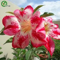 Alta taxa de germinação deserto sementes cor-de-rosa promoção Varanda Bonsai Sementes de flores de flores de floração 5 pcs B02