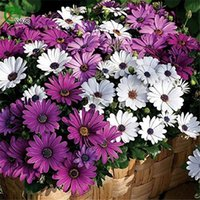 Semillas de Daisy Blue Eyed Daisy de África Semillas de Osteospermum Cape Mix Flower Heirloom 60PCS C01
