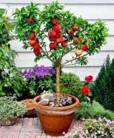 قزم Bonanza الخوخ، بذور شجرة الخوخ - بذور بونساي الفاكهة 10PCS T080