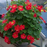 등산 포도 나무 식물 씨앗, TropaEolum Majus는 행운을 빌어 낼 수 있습니다 분재 식물 씨앗
