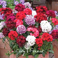 Mixed Color Dash Dianthus Sweet William Flower 500 Seeds Sup...