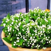 Semi di semi di semi di gelsomino Indoor Bonsai Plant 20 particelle / lotto