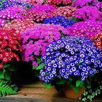 100 Samen, Mischfarbe Cineraria Seeds, Topfsamen, Blumensamen für Hausgarten Promotion !!