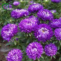 Фиолетовый Китай Семена астера бонсай балкон цветок горшечные семена DIY домашний сад 50 частиц / лот H027