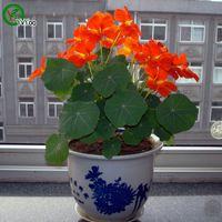 아름 다운 Tropaeolum majus 씨앗 희귀 꽃 씨앗 DIY 홈 정원 식물 성장하기 쉬운 10 입자 / lot P001