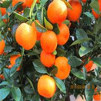 Vente chaude 30pcs / sac orange rare fruit graines de bonsaï plante maison jardin s008