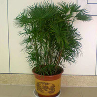 Neue Ankunft Home Gartenpflanze 30 Samen Palm Bambussamen S006