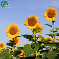 Семена подсолнечника Бонсай Семена цветов растений Очень ароматные 15 частиц / серия S017