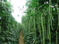 중국 긴 콩 비나 unguiculata 씨앗 20pcs, 긴 - 포드 cowpea 뱀 콩 야채 씨앗, 미니 정원 긴 콩 씨앗