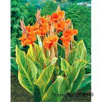Semi di canna opzionali multi colore Semi di piante di fiori bonsai molto fragranti 10 particelle / lotto T012