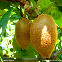 50 stücke Kiwi-Samen, Kiwi-Fruchtsamen, 90% + Keimung T007